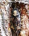 Acherontia atropos su un albero.jpg