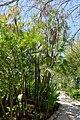 Acoelorrhaphe wrightii - Marie Selby Botanical Gardens - Sarasota, Florida - DSC01588.jpg