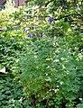 Aconitum napellus plant (19).jpg