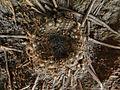 Acrosalenia bradfordensis 1.jpg
