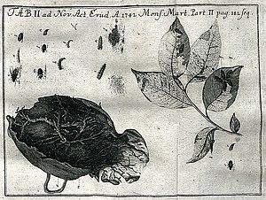 Johann Ernst Hebenstreit - Illustration from critique of De vermibus, anatomicorum administris, commentatio. In Acta Eruditorum, 1742
