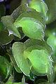 Adelanthus decipiens.jpg