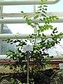 Adiantum peruvianum - Botanischer Garten München-Nymphenburg - DSC08178.JPG