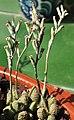 Adromischus marianae herrei en flor.jpg