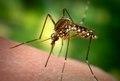 Aedes aegypti CDC8936.tif