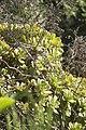 Aeonium arboreum-4.jpg