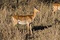 Aepyceros melampus -Buphagus erythrorhynchus -Serengeti National Park-8.jpg