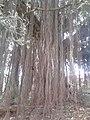 Aerial root YVSREDDY (2).jpg