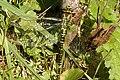Aeshna.cyanea.female.jpg