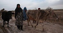 Two Afghan women move cattle on a dirt road
