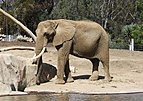 African bush elephant in San Diego Zoo.jpg