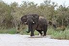 African elephant, Lake St Lucia 01.jpg