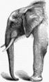 Afrikanischer Elefant MK1888.png