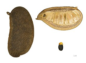 Frucht und Samen von Afzelia africana