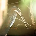 Agami Heron (Agamia agami) (5772351588).jpg