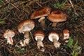 Agaricus fuscofibrillosus Alan Rockefeller.JPG