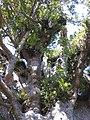 Agathis australis Tane Mahuta2.jpg