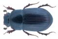 Agoliinus piceus Gyllenhal, 1808.png