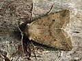 Agrochola lota - Red-line Quaker - Пухоногая совка ивовая (27235977728).jpg