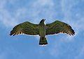 Aguila en Puebla de Lillo.jpg