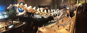 Alamosaurus - Reconstructed skeleton