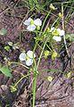 Alisma plantago-aquatica20090812 252.jpg