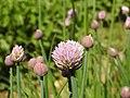 Allium maximowiczii.jpg
