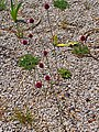 Allium spaerocephalon 001.JPG