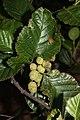 Alnus viridis 3659.JPG