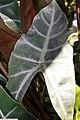 Alocasia watsoniana 1zz.jpg
