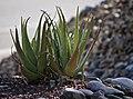 Aloe Vera (15025287658).jpg