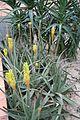 Aloe Vera - Islas Canarias (1) (11984060586).jpg
