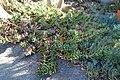 Aloe perfoliata var distans - Leaning Pine Arboretum - DSC05771.jpg
