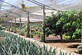 Aloe vera farm Tenerife 4.jpg
