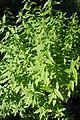 Aloysia citrodora kz2.jpg