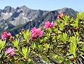 Alpenrose-rhododendron.jpg