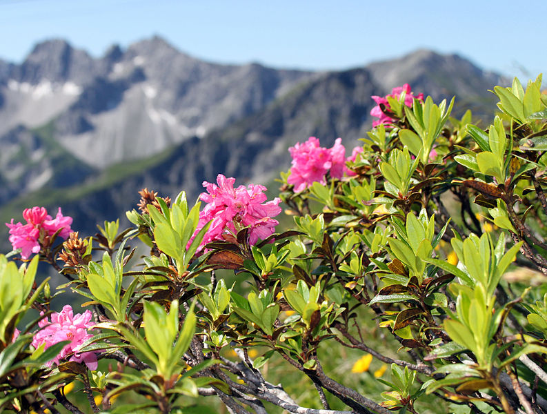 File:Alpenrose-rhododendron.jpg
