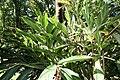 Alpinia zerumbet 44zz.jpg