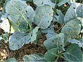 Alternaria brassicicola host symptoms4.jpg