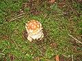 Amanita muscaria france 2007 - 1.jpg