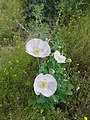 Amapola blanca.jpg