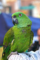 Amazona auropalliata -pet on shoulder.jpg