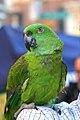 Amazona auropalliata -pet on shoulder.jpg