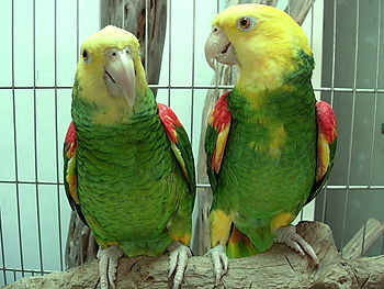 English: Yellow-headed Amazon (also known as t...
