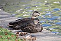 American Black Duck pair at Green Wood Cemetery, Brooklyn (62110).jpg