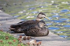 American Black Duck pair at Green Wood Cemetery, Brooklyn (62110).jpg