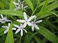 Amsonia elliptica2.jpg