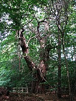 An ancient Sweet Chestnut tree (Castanea sativa) Centuries-old specimens of sweet chestnut trees can be found in Great Britain as well as throughout central and western Europe. This particular tree grows in Brickkiln Grove, beside Serpentine Road, and it is believed to have been planted by Robert Marsham (1708 - 1798), who was one of Norfolk's greatest tree planters. A conservation order was placed on this tree on 6th July 1995. The sweet chestnut (also called Spanish Chestnut or European chestnut) originates from southeastern Europe and Asia Minor. It was introduced into more northerly regions during Roman times and later cultivated by monks in the gardens of their monasteries. The nuts are used in confectionary and can also be eaten roasted. The wood is used to make furniture, barrels, fencing and roof beams, the bark provides tannin. For more information see Sweet_Chestnut