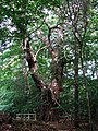 An ancient Sweet Chestnut tree (Castanea sativa) - geograph.org.uk - 557637.jpg