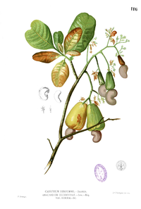 Anacardium occidentalis Blanco1.116